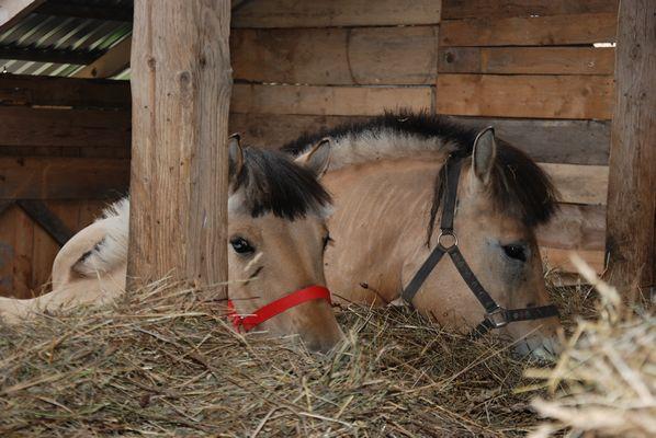 konie w stajni