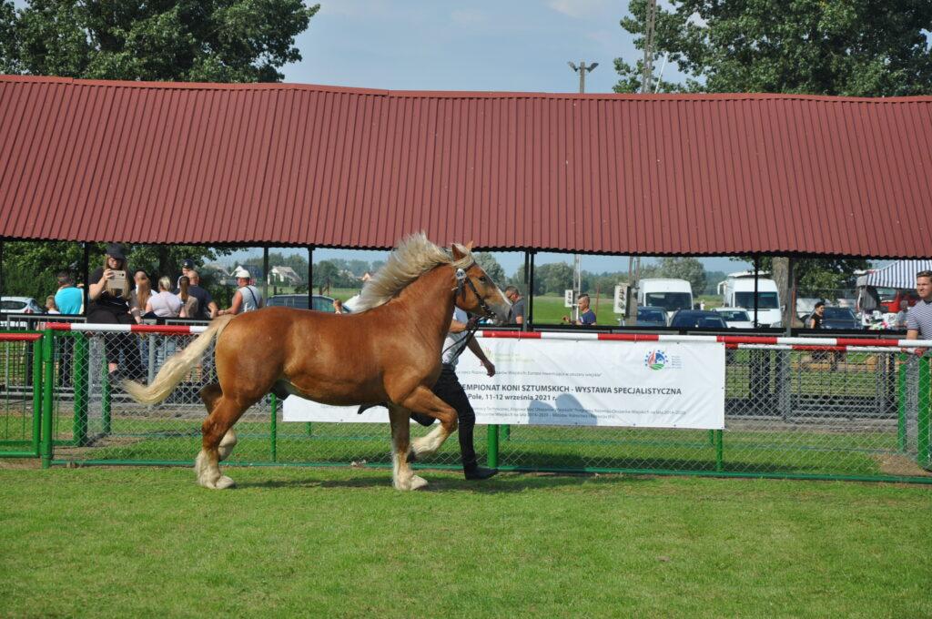 Koń sztumski na ringu
