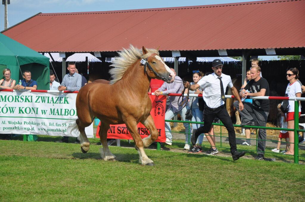 hodowca prezentuje konia ringu, wokół publiczność