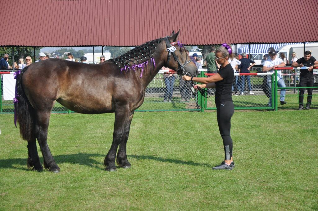 koń z hodowcą na ringu