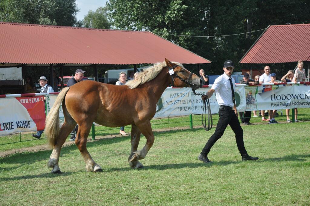 hodowca z koniem na ringu
