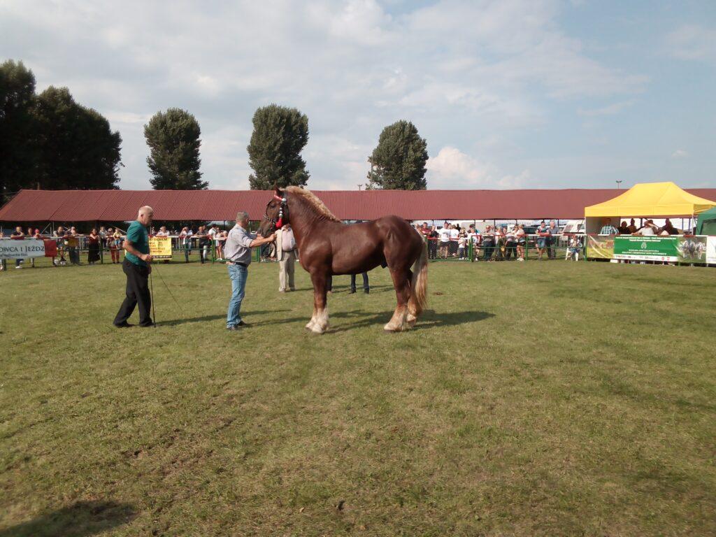 koń na ringu