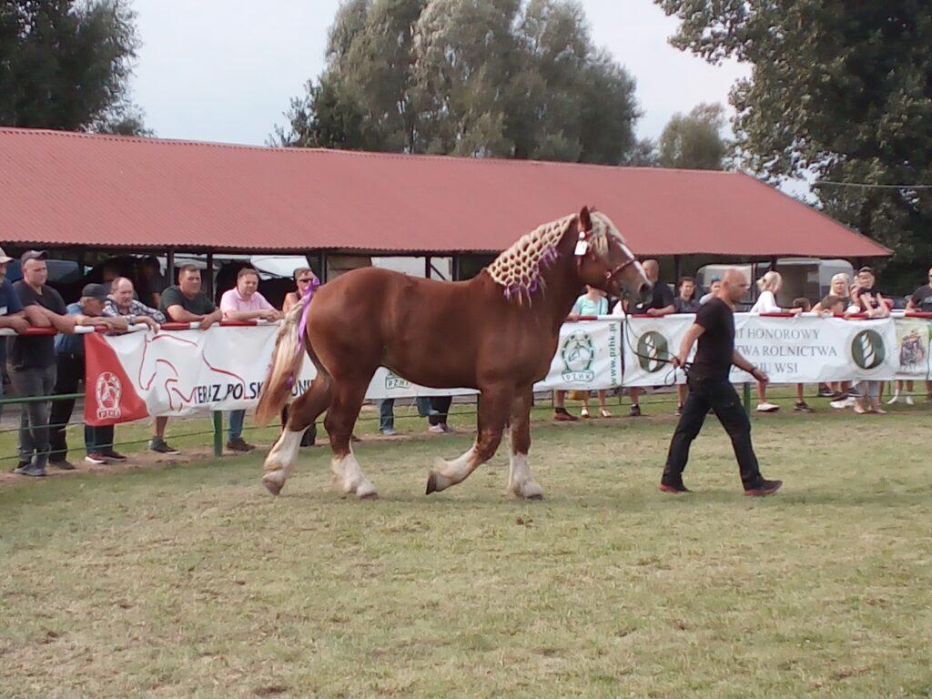 prezentacja konia na ringu