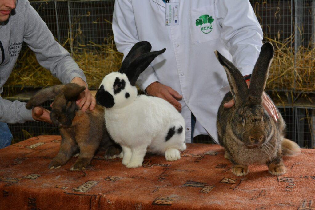 Wystawa królików