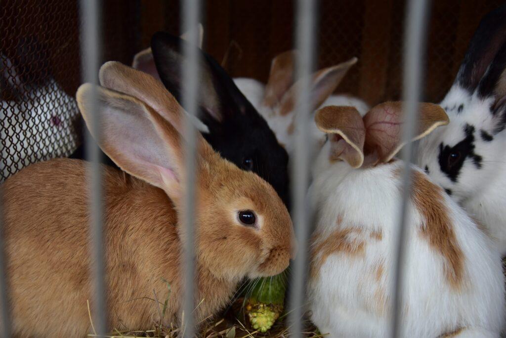 Pokaz drobiu ozdobnego i królików 02