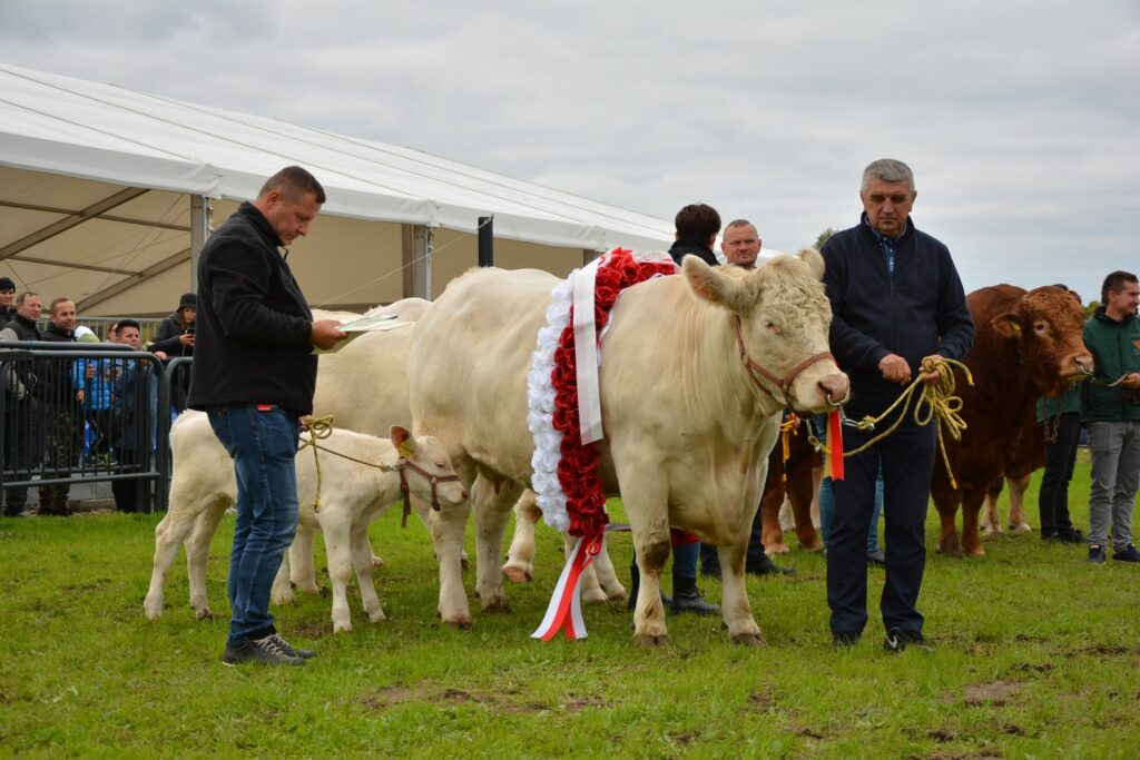 ARA Superczempion wystawy - krowa z cielęciem CH